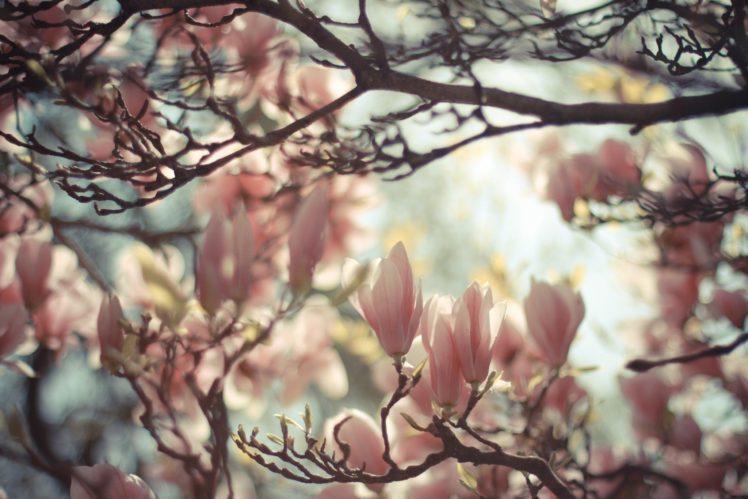 nature, Plants, Magnolia HD Wallpaper Desktop Background