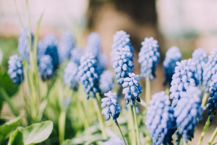 nature, Plants, Blue flowers, Muscari HD Wallpaper Desktop Background