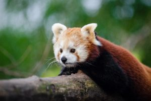 plants, Nature, Red panda