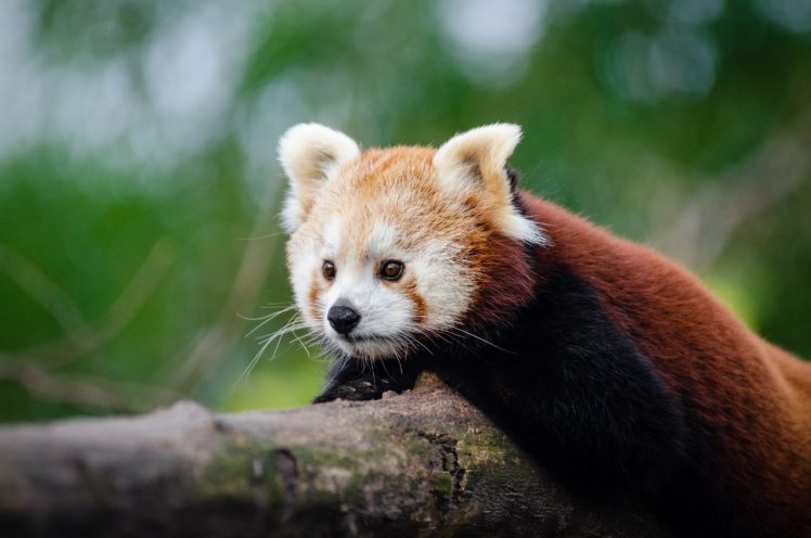 Plants Nature Red Panda Hd Wallpapers Desktop And Mobile Images Photos