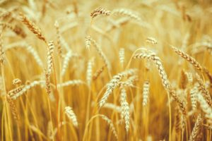 macro, Nature, Spikelets