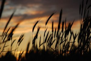 macro, Nature, Spikelets