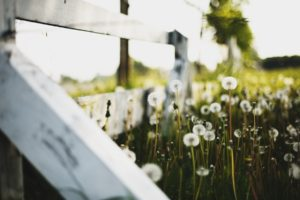 macro, Nature, Fence, Dandelion