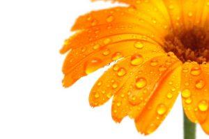 macro, Nature, Flowers, Water drops