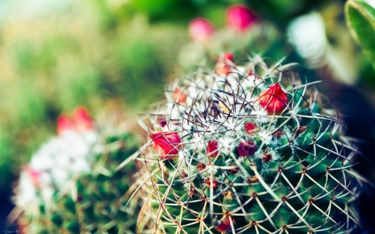 Macro Nature Cactus HD Wallpaper Desktop Background