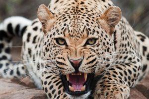 teeth, Animals, Leopard, Big cats