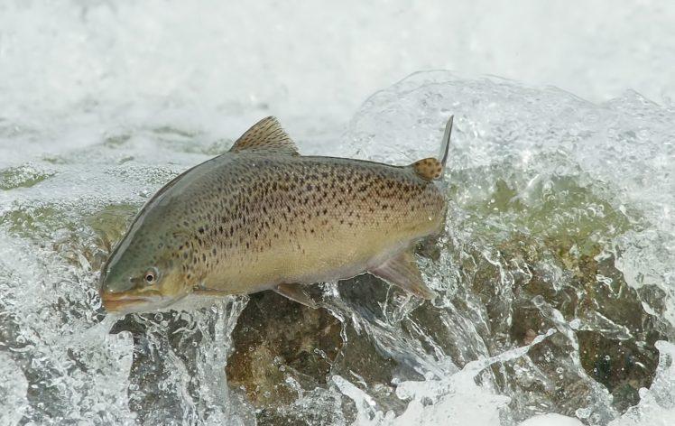 animals, Fish, River HD Wallpaper Desktop Background