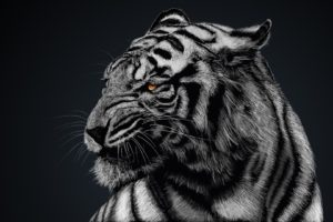 white tigers, Animals, Nature