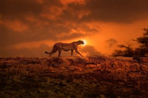 animals, Mammals, Feline, Cheetah