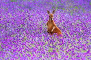 animals, Mammals, Flowers, Kangaroos