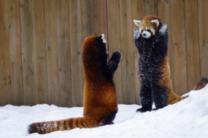 animals, Mammals, Red panda