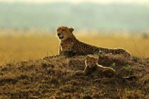 animals, Mammals, Feline, Cheetahs