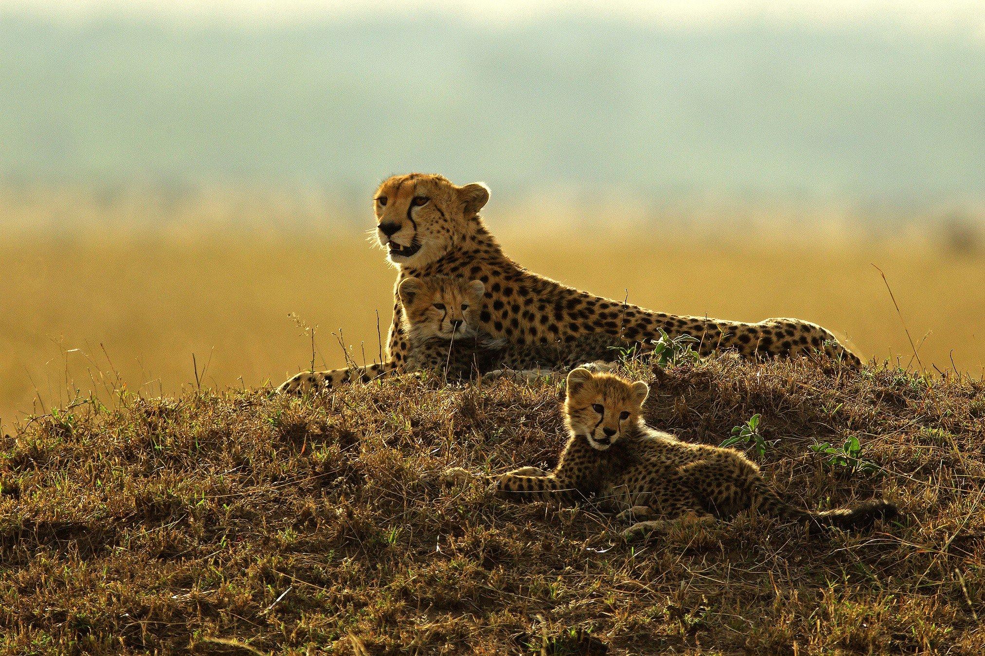 Animals, Mammals, Feline, Cheetahs Hd Wallpapers  Desktop -3465