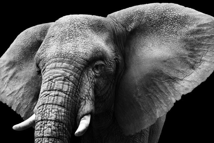 animals, Mammals, Elephant, Monochrome HD Wallpaper Desktop Background