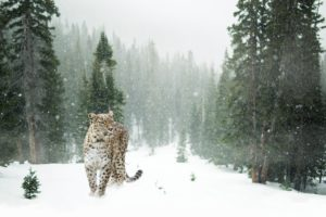 animals, Mammals, Feline, Forest, Pine trees, Snow, Leopard