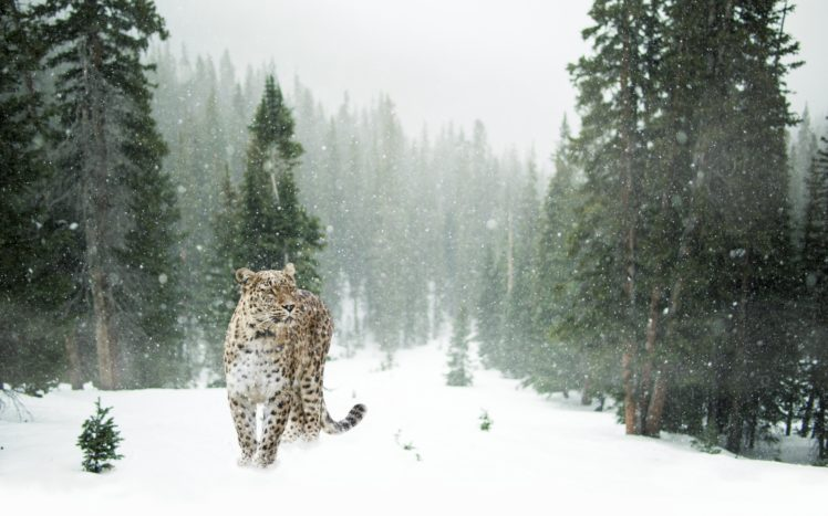 animals, Mammals, Feline, Forest, Pine trees, Snow, Leopard HD Wallpaper Desktop Background