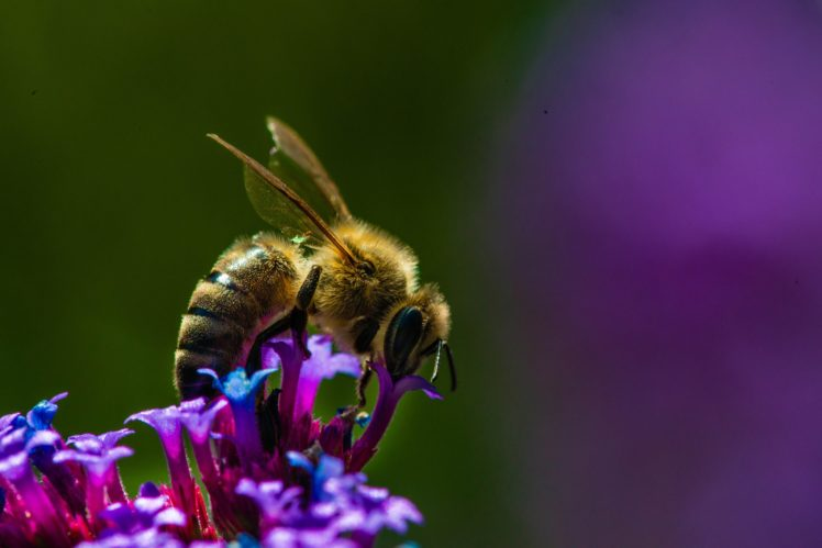 Animals Insect Macro Bees Hd Wallpapers Desktop And