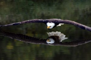 birds, Animals, Bird of prey, Bald eagle, Eagle