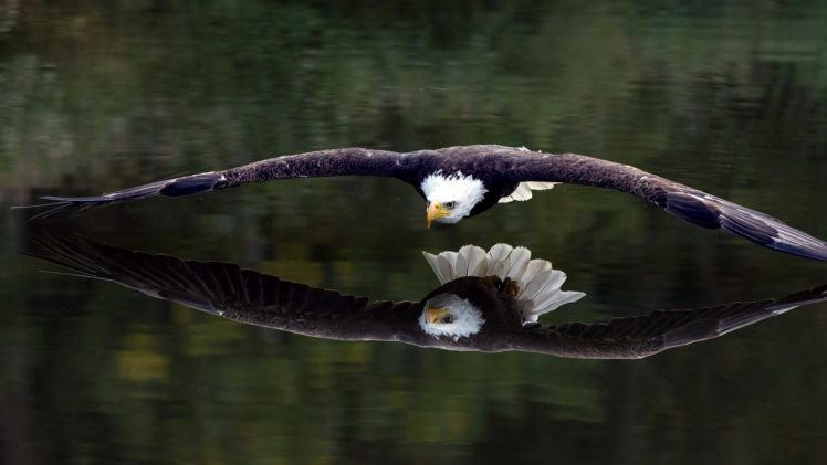 Birds animals bird of prey bald eagle eagle hd - Birds of prey wallpaper hd ...