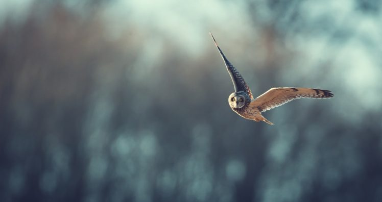 birds, Animals, Bird of prey, Owl HD Wallpaper Desktop Background