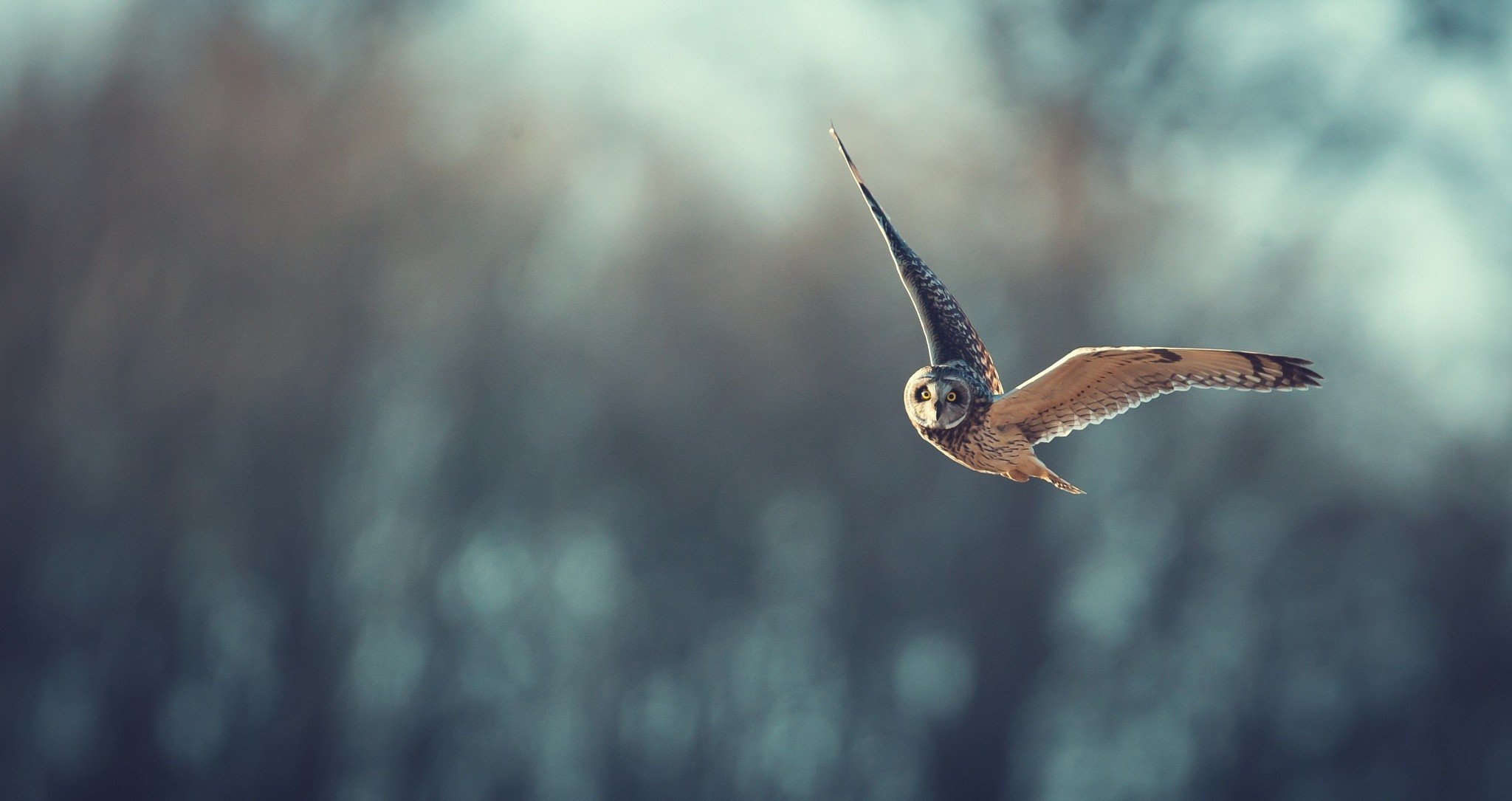 birds, Animals, Bird of prey, Owl Wallpaper