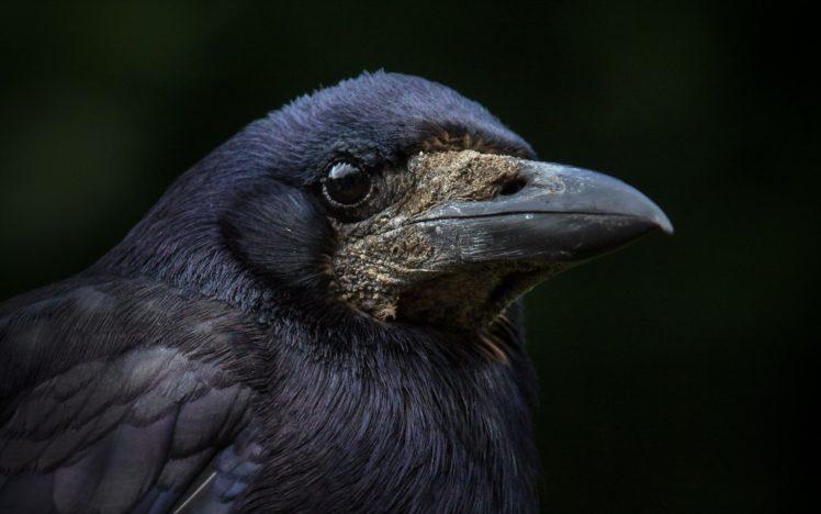 macro, Birds, Animals HD Wallpaper Desktop Background