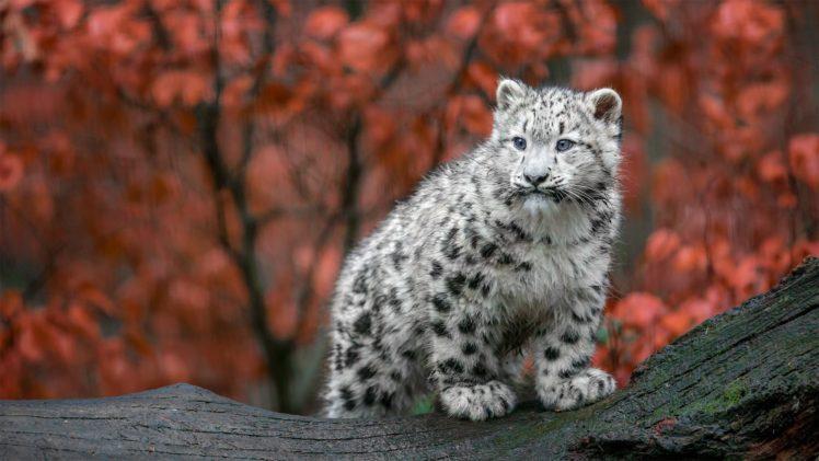 animals, Feline, Mammals HD Wallpaper Desktop Background