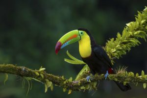 birds, Animals, Plants, Toucans, Moss, Branch
