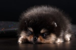 animals, Mammals, Dog, Pomeranian