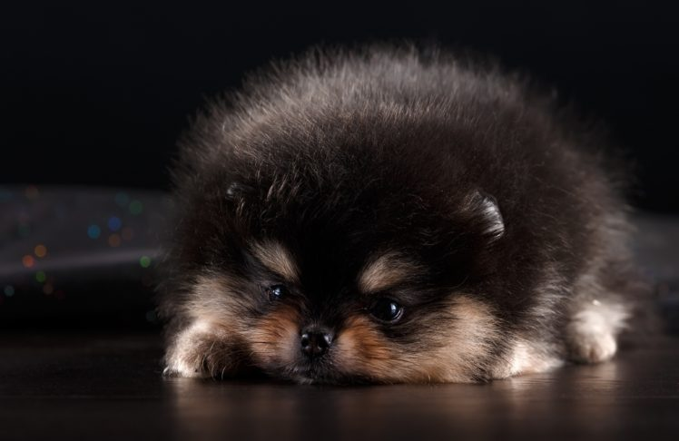 Animals Mammals Dog Pomeranian Hd Wallpapers Desktop And Mobile