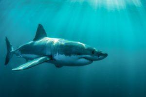 animals, Shark, Fish, Underwater