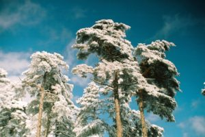 snow, Pine trees