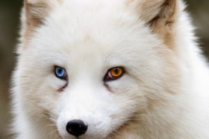 looking away, Heterochromia, Fox, Wildlife, Animals