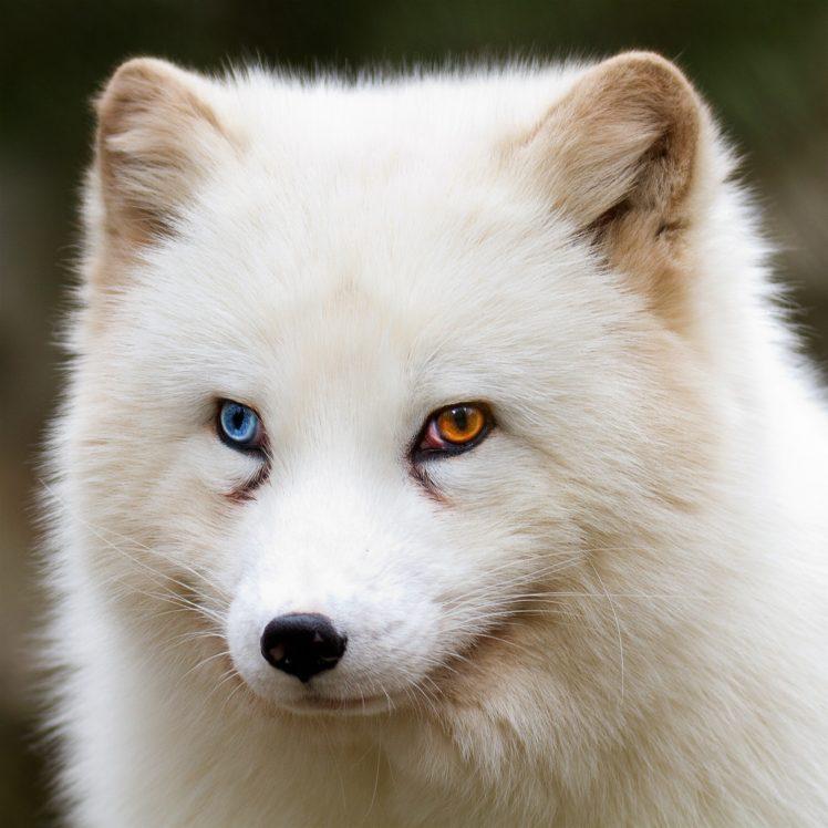 looking away, Heterochromia, Fox, Wildlife, Animals HD Wallpaper Desktop Background