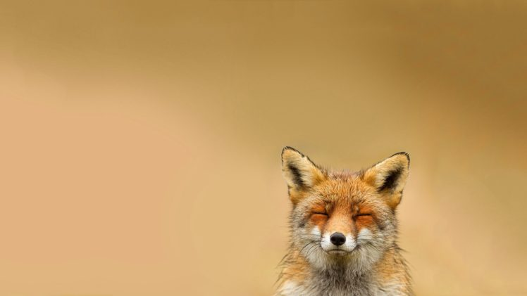 happy, Animals, Relaxing, Fox HD Wallpaper Desktop Background