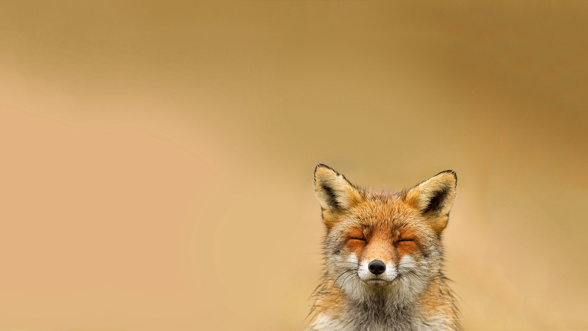 Animals Happy Wolf Wallpapers Hd Desktop And Mobile: Happy, Animals, Relaxing, Fox HD Wallpapers / Desktop And