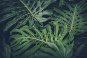 leaves, Green, Nature, Philodendron