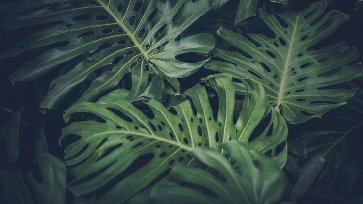 456504 leaves green nature philodendron