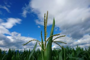 corn, Field, Sky, Clouds, Plants, Nature