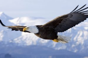 eagle, Animals, Wildlife, Flying