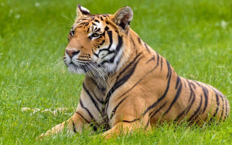 big cats, Tiger, Animals HD Wallpaper Desktop Background