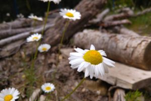 daisies, Landscape, Nature, Wood