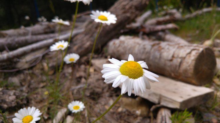 daisies, Landscape, Nature, Wood HD Wallpaper Desktop Background