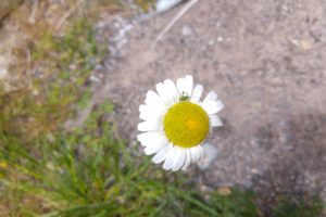 daisies, Landscape, Nature, Beetles, Animals, Grasshopper