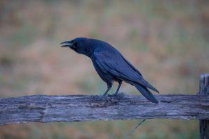 animals, Birds, Crow