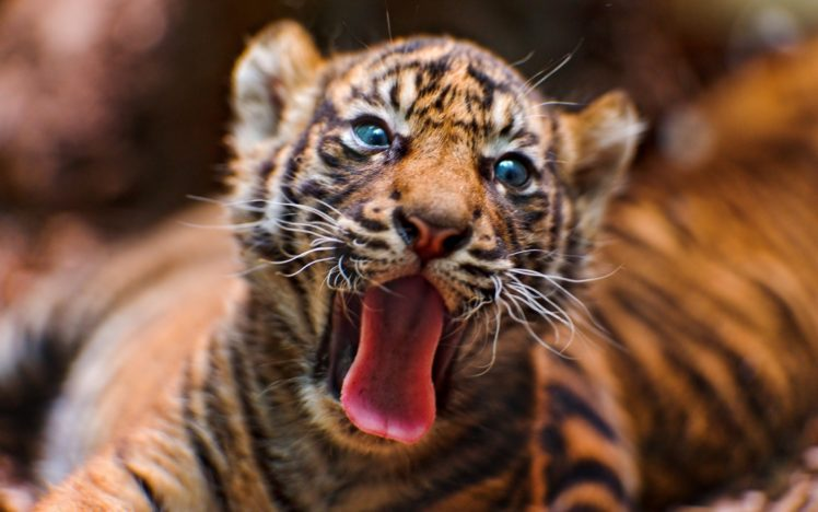Tongues Animals Tiger Cat Big Cats Hd Wallpapers Desktop And