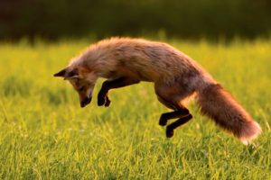 animals, Fox, Jumping, Grass