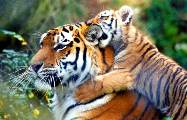 animals, Tiger, Cat, Big cats HD Wallpaper Desktop Background