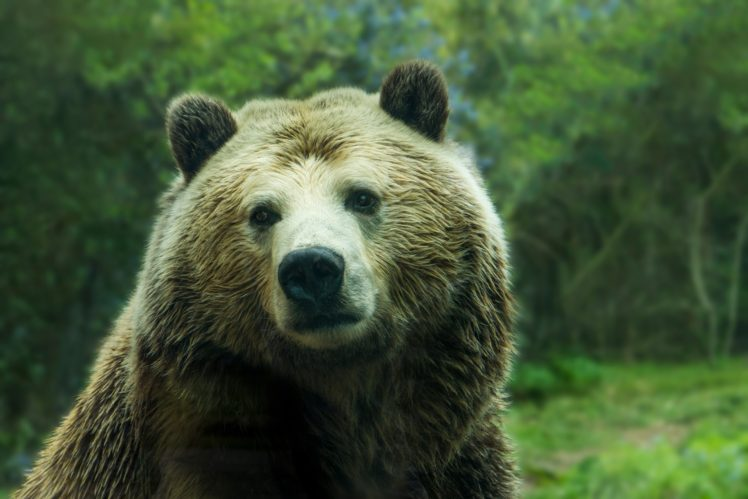 nature, Animals, Bears HD Wallpaper Desktop Background