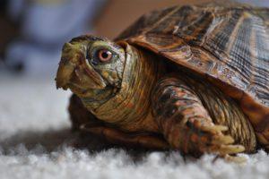 turtle, Pet